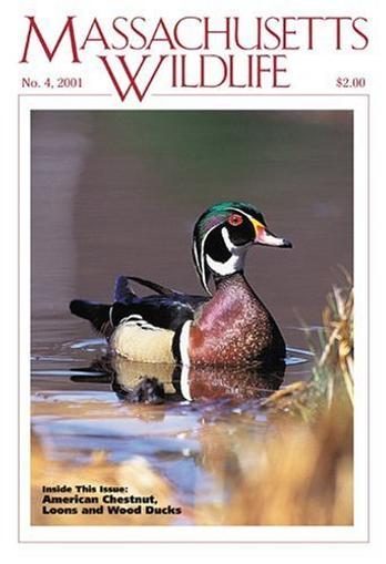 Massachusetts Wildlife Magazine Cover